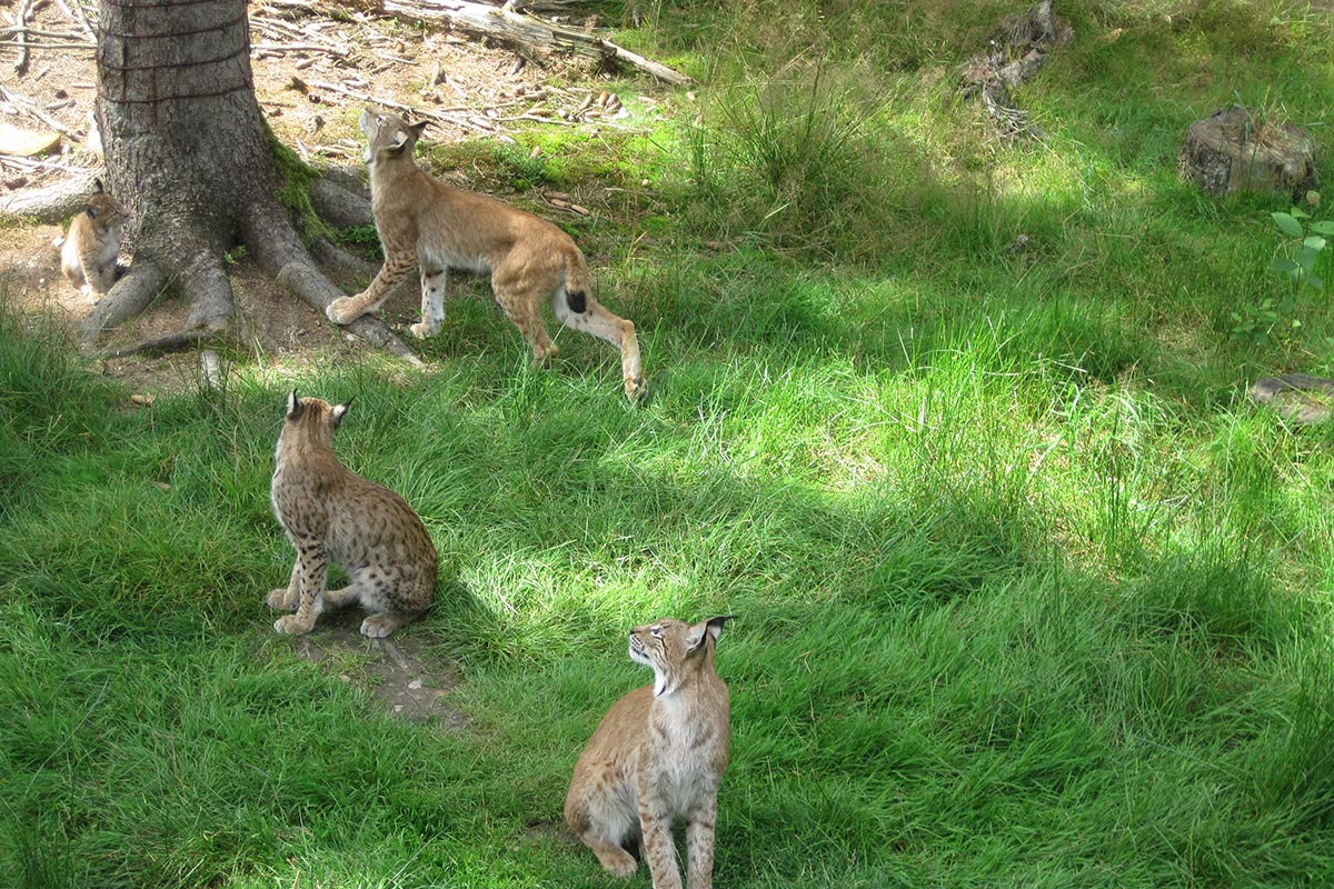 Wildpark Mehlmeisel Luchs